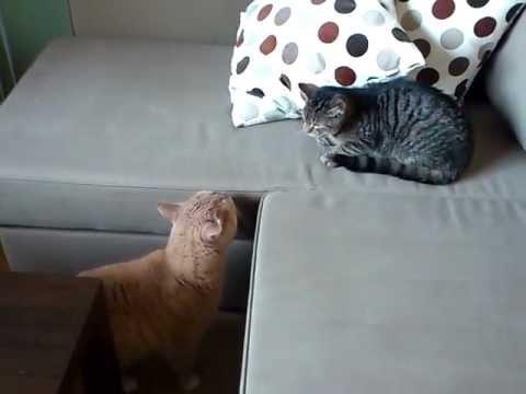 Grown cat meets kitten