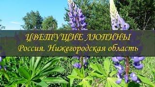 Цветущие люпины  Люпиновые поля в средней полосе России