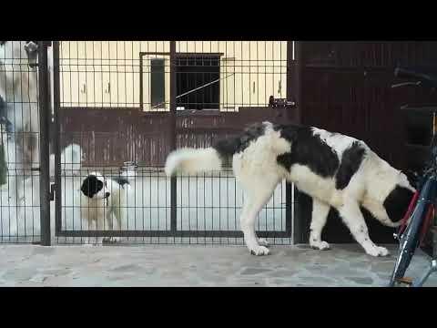 G-NOBEL de HUMOR, 7 Months  BUCOVINA SHEPHERD DOG