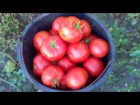 Самый  достойный гибрид помидоров  F1  Президент | высокорослый | президент | вкусный | гибрид | томат | самый