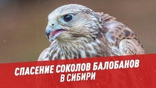 Экспедиция: спасение соколов балобанов в Сибири