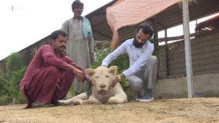 Big cats of Karachi: the elite's love of exotic wildlife