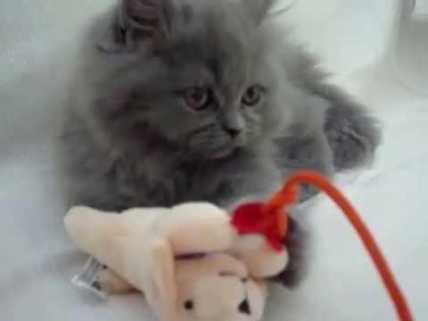 Persian Cat 29-07-2012