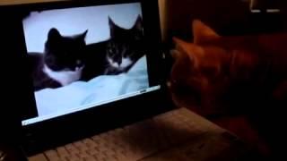 О чем могут говорить кошки.flv