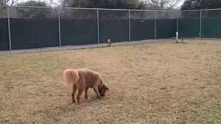 Golden Retriever Chow Mix Walter, Chihuahua Socks & Toy Poodle Mini Play In Rummy's Dog Park!