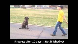Aggressive Mastiff Dog Training - Tulsa Oklahoma