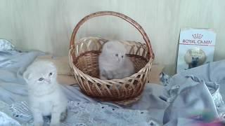 кремчики -вислоухие котята - продажа