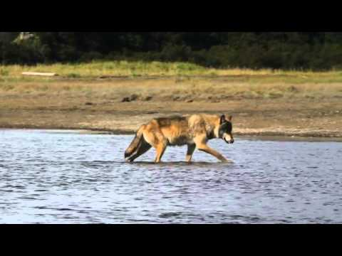 Alaska Wolves and Bears, tours depart daily from Homer Alaska with Alaska Bear Adventures