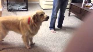 Golden retriever imitating ambulance siren.