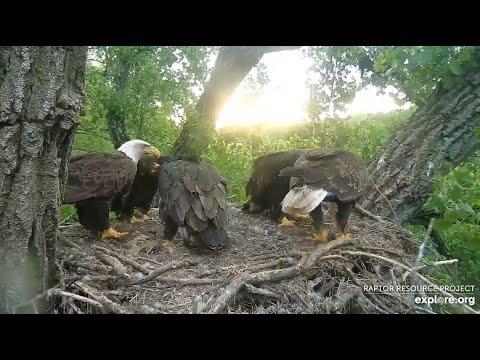 Decorah Eagles~Mom & DM2 TAG Team Fish/Feeding~Red-Winged Black Bird Dive Bombs DM2_6.13.20