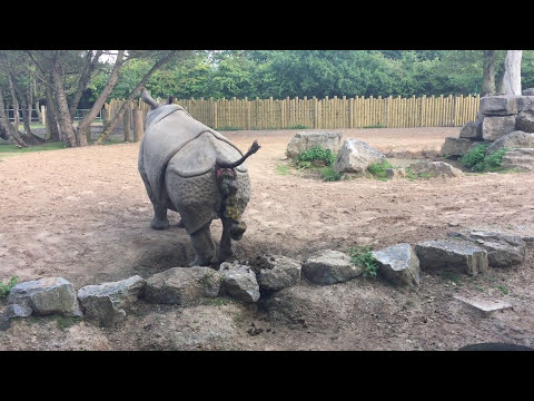 Rhino Poop Explosion!