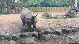 Rhino Poop Explosion! thumbnail