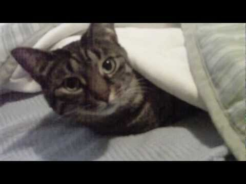Cat Sleeping UNDER the Covers