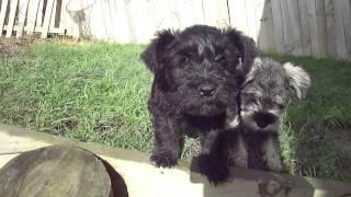 Miniature Schnauzer Puppies 2011.06.19 002.mp4