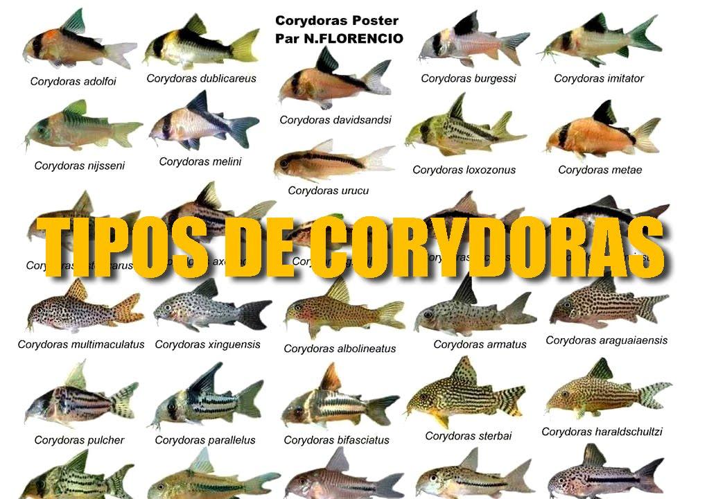 Diferentes tipos de corydoras youtube for Clases de peces de acuario