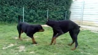 Repeat youtube video Dobermann vs rottweiler 2