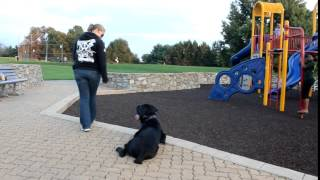 Cane Corso Puppy Trains With Top Rated Dog Trainers, Off Leash K9 Columbia