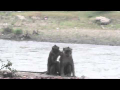 Funny Monkey Dating - Enjoy The Beauty Of The River As A Couple