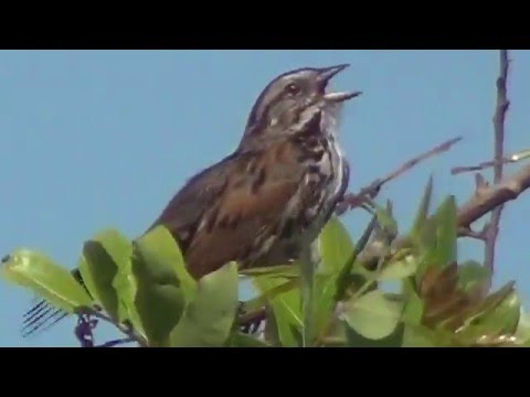North American Wildlife --- Song Sparrow, foraging techniques & greatest hits