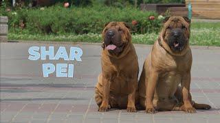 Shar Pei Dog Breed 101