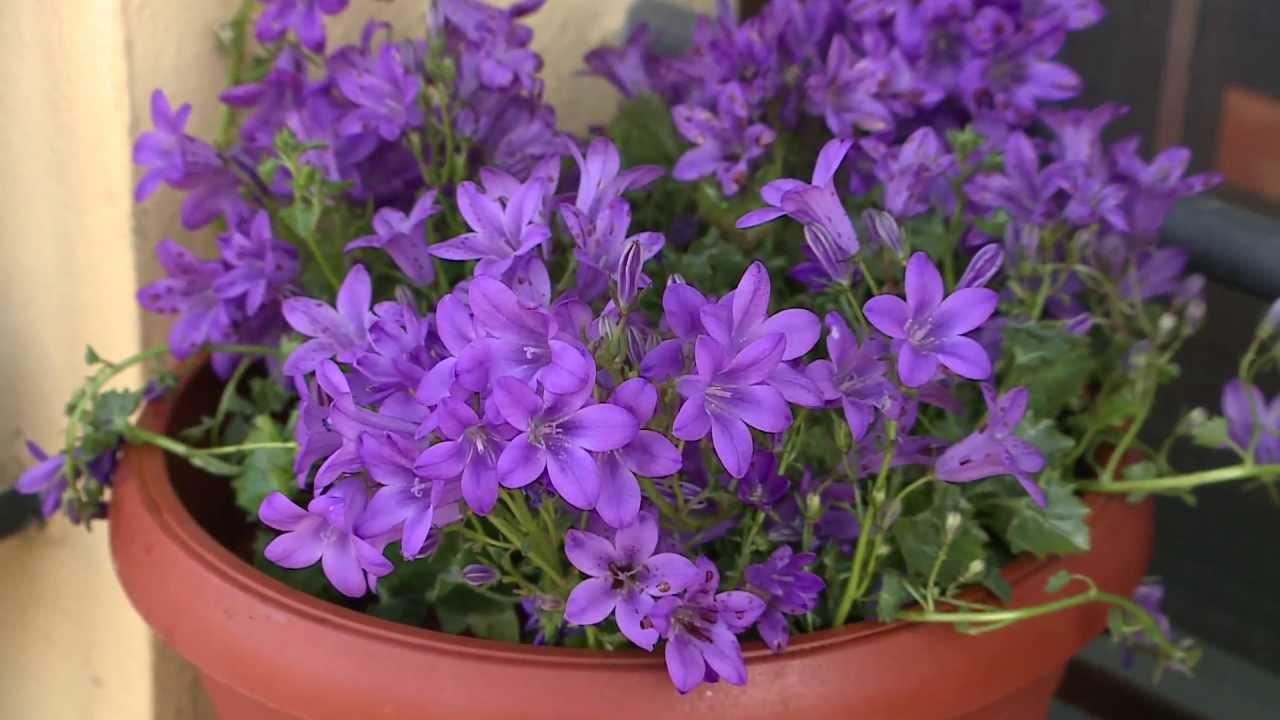 Fiori Campanelle Da Balcone cifo - ascolta le tue piante - la campanula