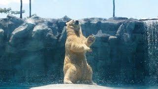 Funny polar bear dancing at zoo