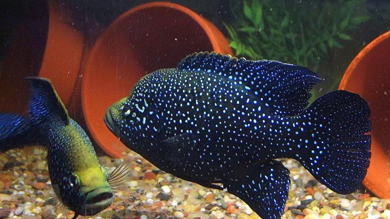 Paratilapia polleni 39 maralambo 39 39 a pair in the making for Jims exotic fish
