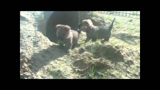 Cairn Terrier Welpen, Von Der Scheerhorner Haar, 5 Wochen Alt.wmv