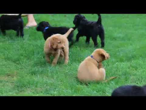 Standard Labradoodle Puppies for Sale