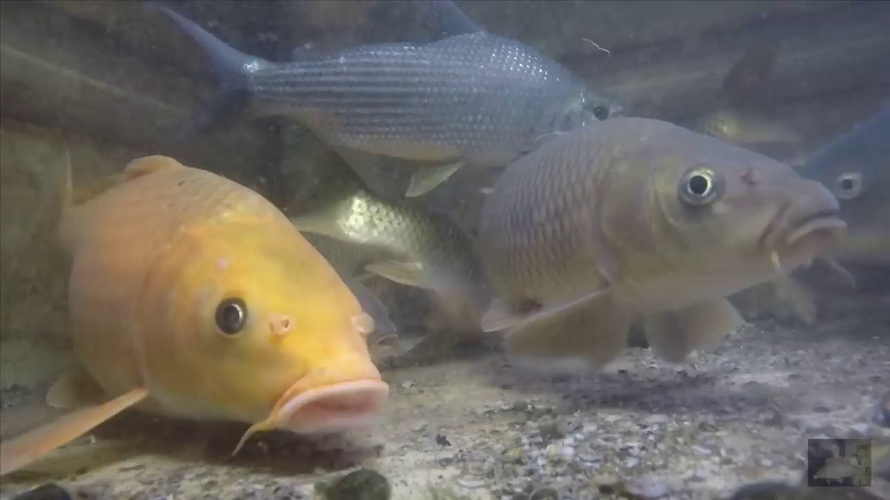 Nuôi cá chép trong bể | Cơm Cày – Cá Kiếm