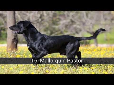 Spanish Dog Breeds