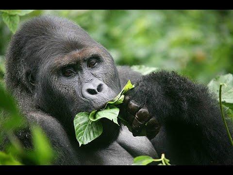 All Gorilla (Sub)species - All Species List