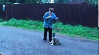Дрессировка щенка кавказца. Команда