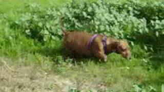 Dachshund Dog Names: Braut (mission = Gophers)