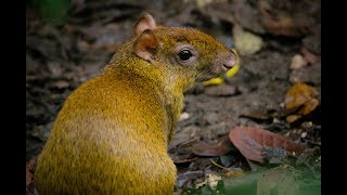 Facts you've never heard about Agouti