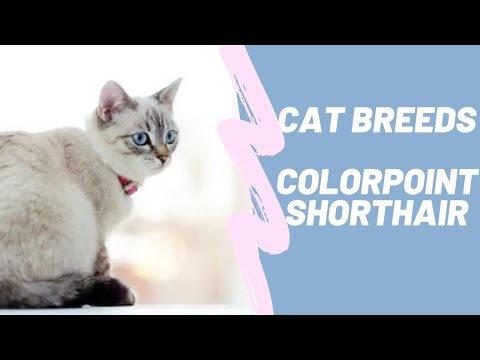 COLORPOINT SHORTHAIR  CAT BREEDS