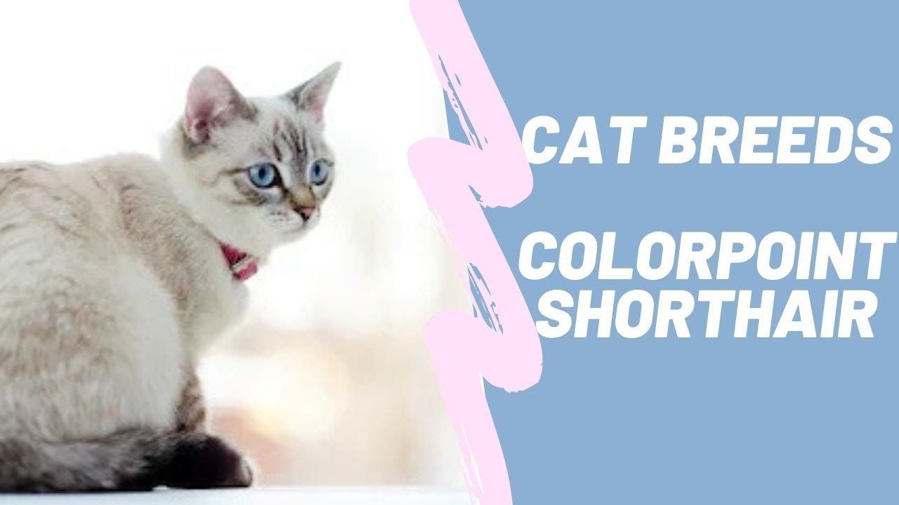 Colorpoint Shorthair Cat Breeds Youtube
