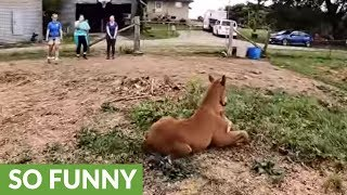 Playful newborn foal has heart-stopping wipeout in pasture