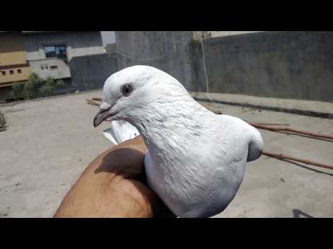 How to train new pigeons to come back home-Sialkoti breed-Part 1-by Raja Bhai