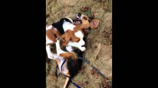 Beagle Puppy Vs Cavalier King Charles Spaniel Puppy