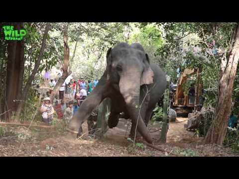 Elephant gets saved from hunters by wildlife team (part 2).