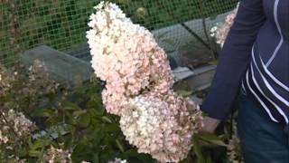 видео Гортензия метельчатая, посадка и уход в открытом грунте