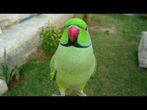 Super Cute Parrot Sounds