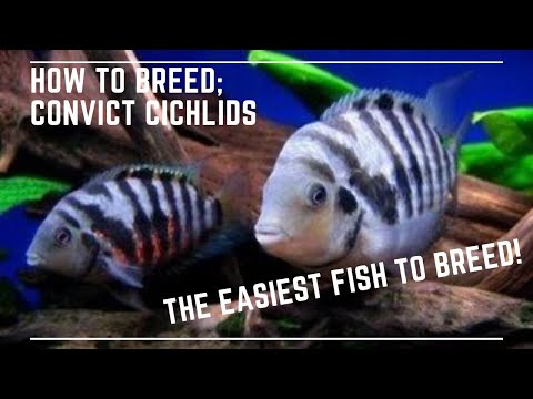 The Easiest Fish To Breed - How To Breed Convict Cichlids