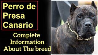 Perro de Presa Canario or Canarian Mastiff or Dogo Canario. Pros and Cons, Price, How to choose.