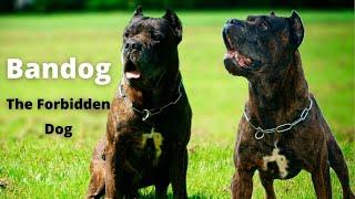 Bandog * The Forbidden Dog * (History and Characteristics)