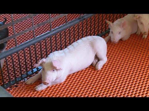 Solving Swine Diseases
