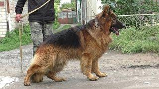 ШИКАРНЫЙ. Длинношерстная НЕМЕЦКАЯ ОВЧАРКА. Classy long-haired German shepherd dog. Одесса.
