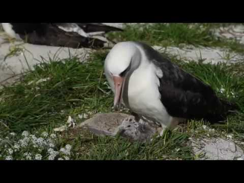 Oldest Bird in the World Wisdom the Midway Albatross age 66 with her chick (February 2017) Laysan