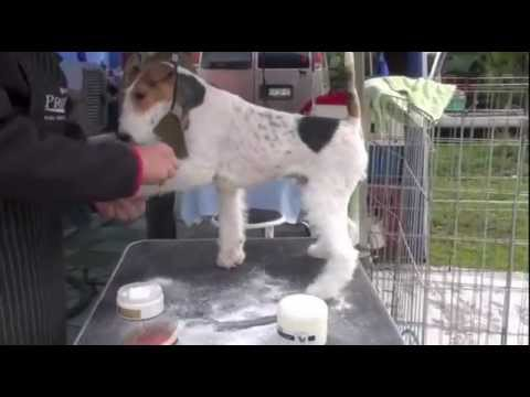 Grooming the Fox Terrier